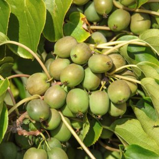 kiwiri Kiwibeere Fresh Jumbo kiwiberry