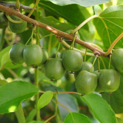 kiwiri Kiwibeere Molli kiwiberry