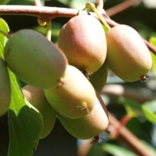 kiwibeere lucy kiwiberry