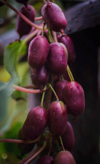 kiwiri kiwibeere hardy red kiwiberry