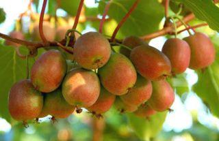 kiwibeere ananasnaya kiwiberry