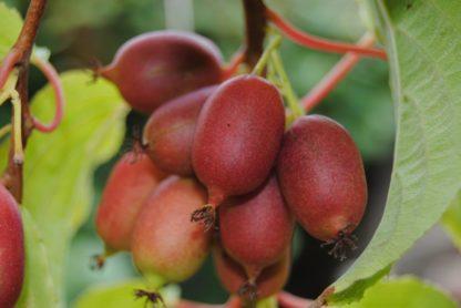 kiwiri Kiwibeere Cherrybomb kiwiberry
