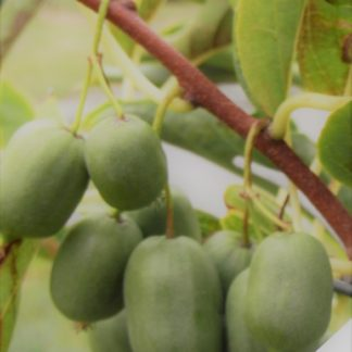 kiwiri kiwibeere issai Act. arguta kiwiberry