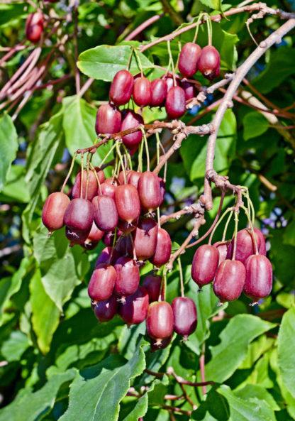 kiwibeere Scarlet september kiwiberry