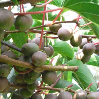 kiwibeere domino frucht